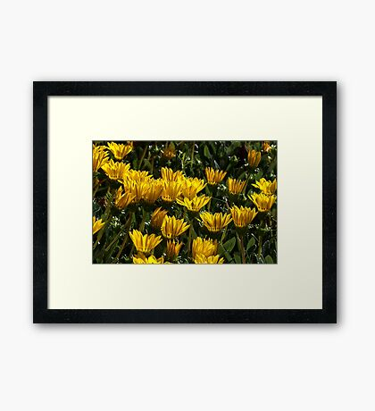 At home with Gazanias Framed Print