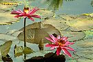 Water Lily by Prasad