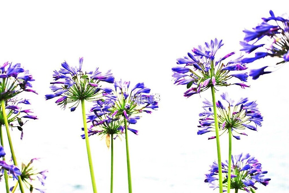 Agapanthus by Miay3