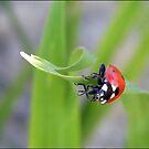 mrs ladybug by Morpho  Pyrrou