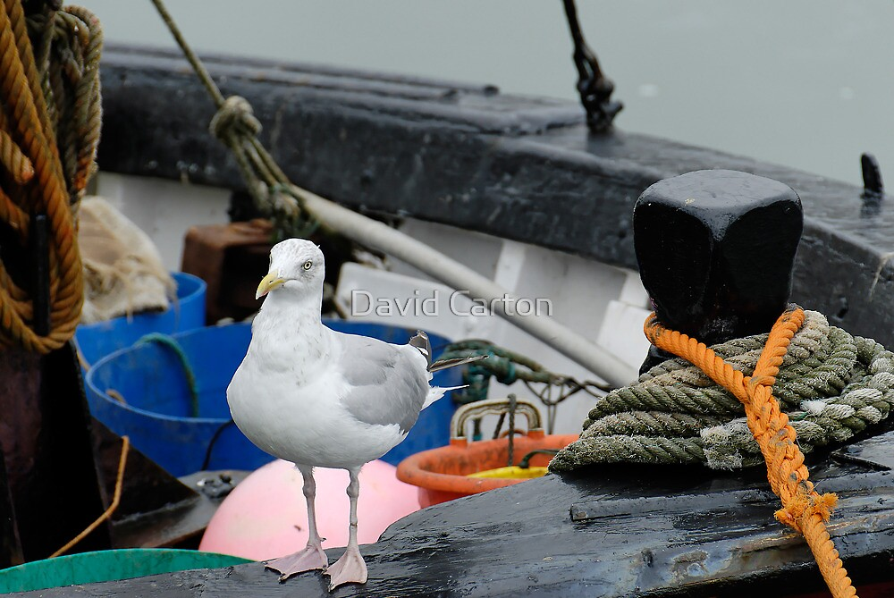 Seagull on a fishing boat, West Bay, Dorset, UK by David Carton