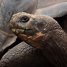 Galapagos Islands: Giant Tortoise by tpfmiller