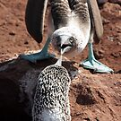 Galapagos Islands: Blue-footed Boobies Fighting by tpfmiller