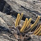Galapagos Islands: Lava Cactus by tpfmiller