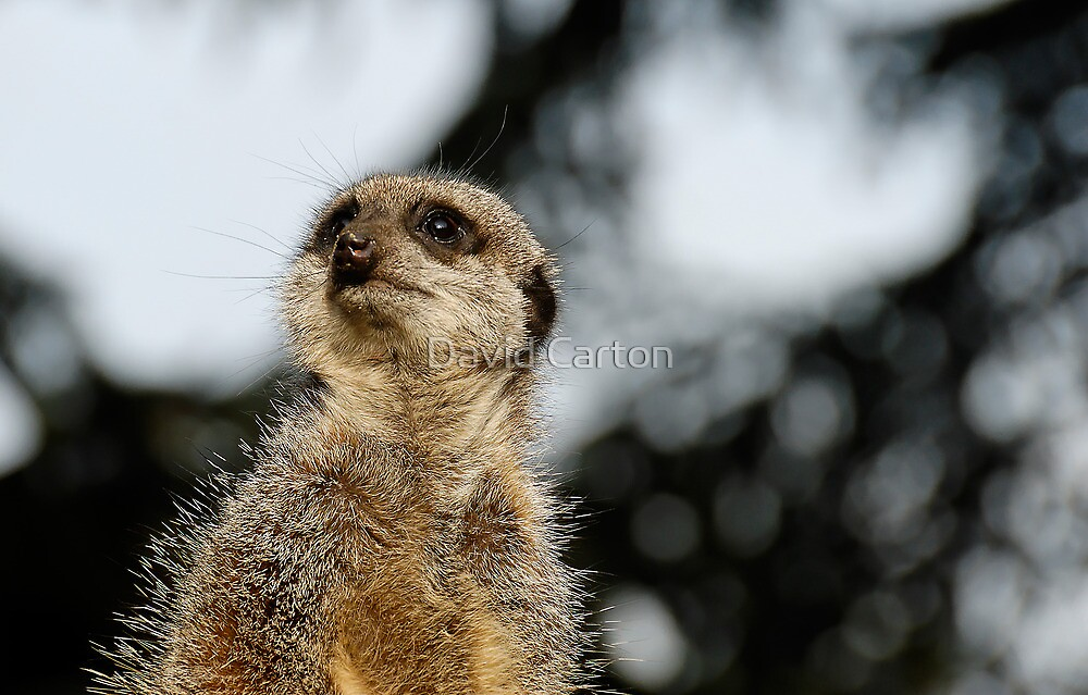 Compare the Meerkat by David Carton