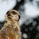 Compare the Meerkat by David Carton