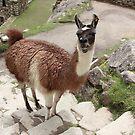 Machu Picchu: ¿Como se llama, llama? by tpfmiller