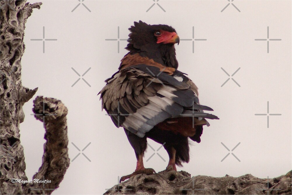 Rückblick - Der Bateleur-Adler - Terathopius ecaudatus von Magriet Meintjes