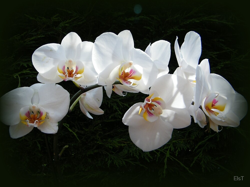 Orchids by ElsT