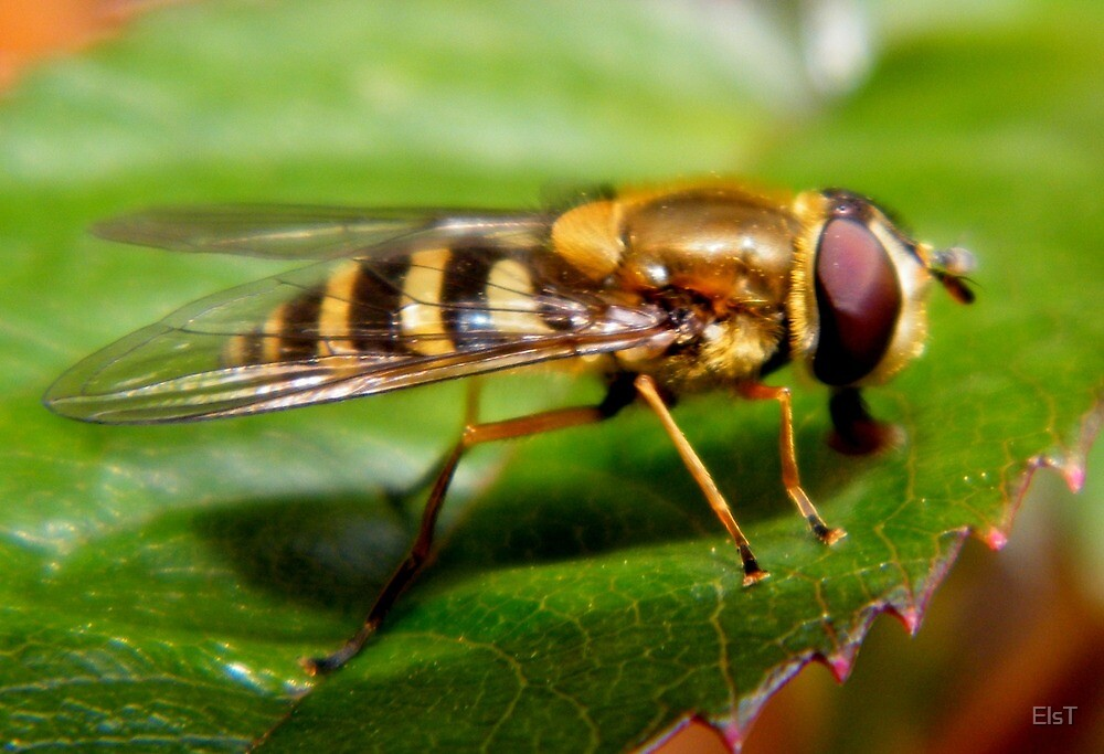 Hoverfly 2 by ElsT