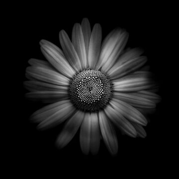 Backyard Flowers In Black And White 31 by learningcurveca