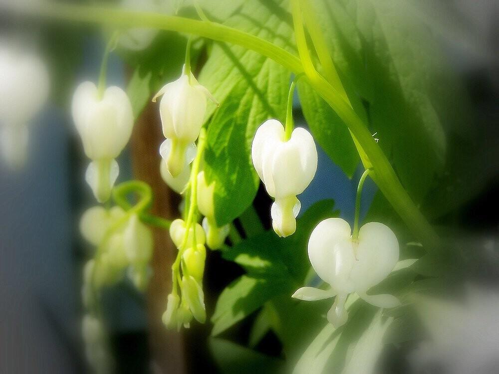 elegant white bleeding hearts by Dawna Morton