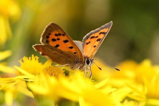 Copper Butterfly by Suzy Shipman