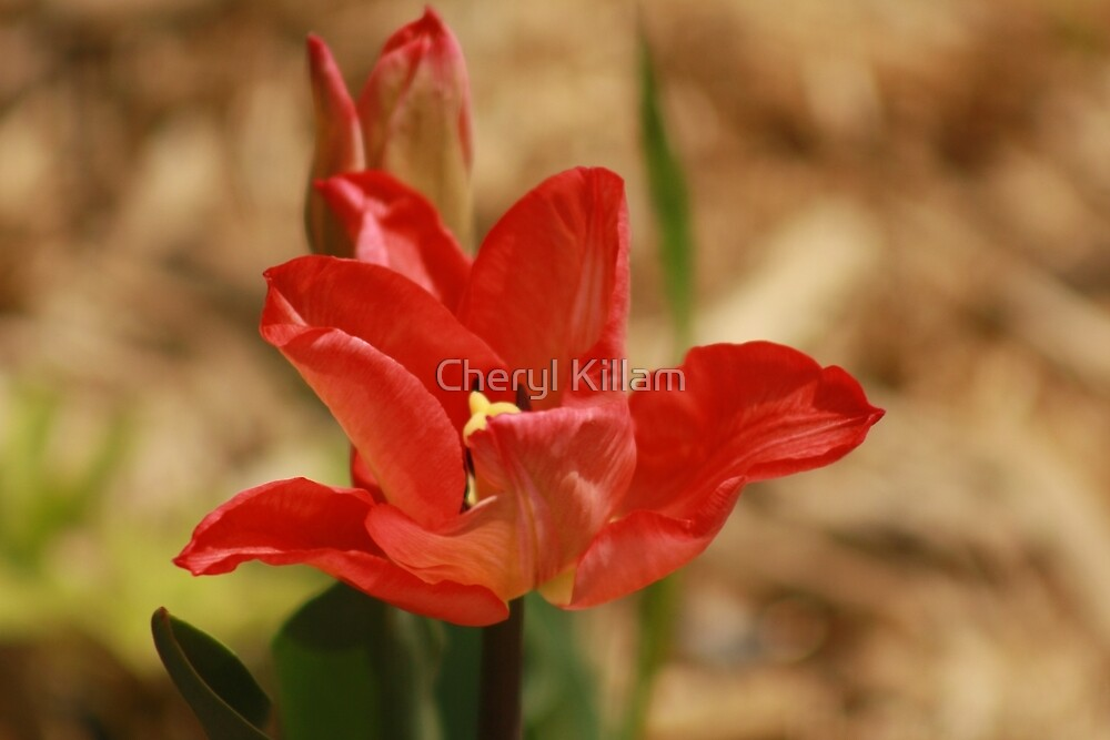 Red Tulip by Cheryl Killam