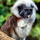 Cotton Topped Tamarin by Clive