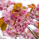 Pink cherry blossom by Maria Meester