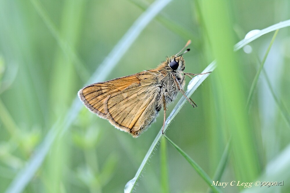 Lulworth Skipper, Thymelicus acteon by pogomcl