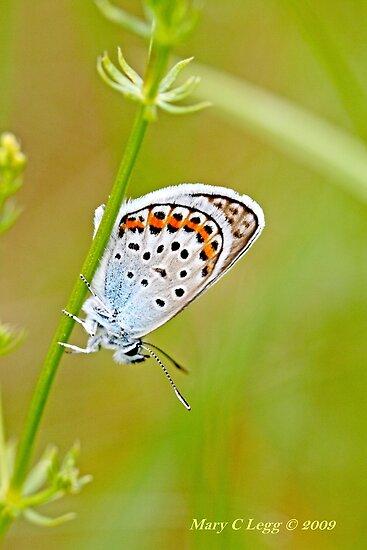 Idas Blue, plebejus idas, male by pogomcl