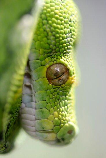 Green Tree Python - Morelia viridis by Normf