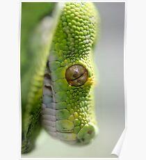 Green Tree Python - Morelia viridis Poster