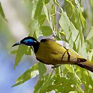 Blue faced honey eater by David  Hibberd