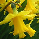 A host of golden Daffodils by hjaynefoster