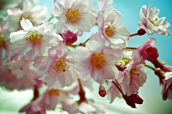 Close-up of Cherry Blossom. Queens Botanical Garden Vintage Retouched by yiuphotography