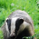 Badger. by widge