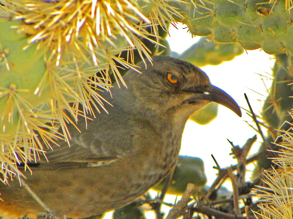 Curved Bill Thrasher by gcampbell