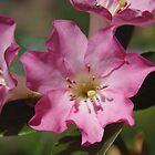 Vireya Rhododendron - eine Blume aus Neuseeland von lezvee