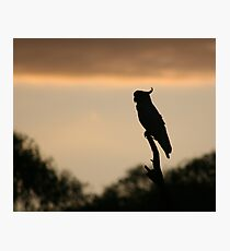 Cockatoo in the early morning - Upper Plenty Photographic Print