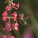 Male Anna's Hummingbird in Courtship Colors by K D Graves Photography