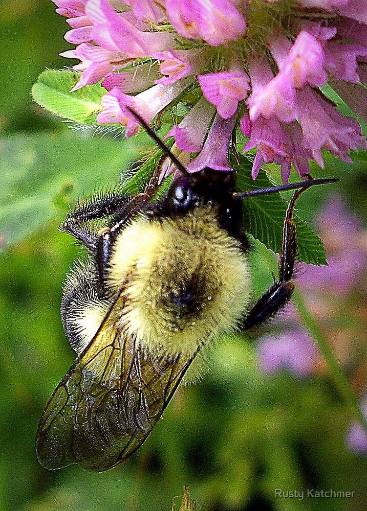 Bee with Clover by Rusty Katchmer