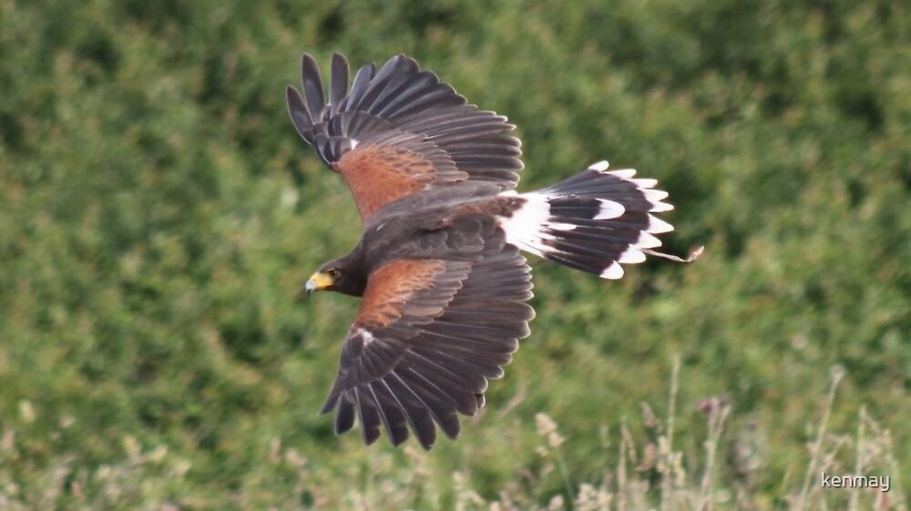 Harris Hawk in Flight. by kenmay