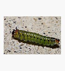 Caterpillar Photographic Print