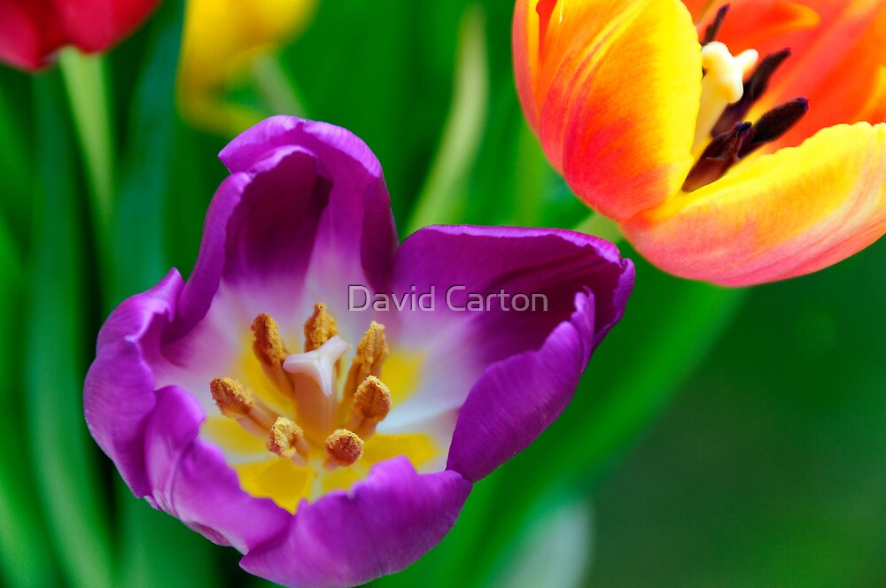 Tulips by David Carton