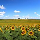 Sunflowers...Lots of Sunflowers by David de Groot