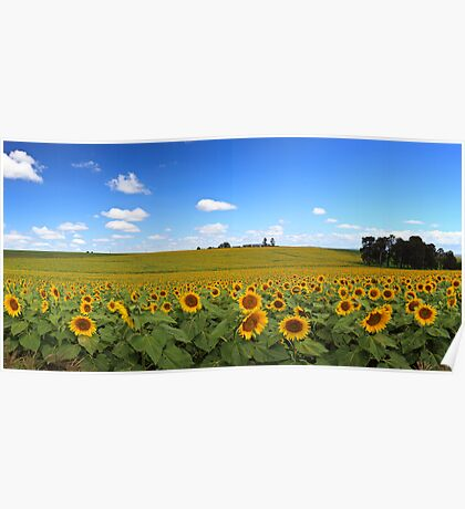Sunflowers...Lots of Sunflowers Poster