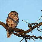 Barred owl at sunset by Jim Cumming