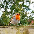 Robin by Stephanie Hillson