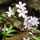 Spring Beauties by debbiedoda