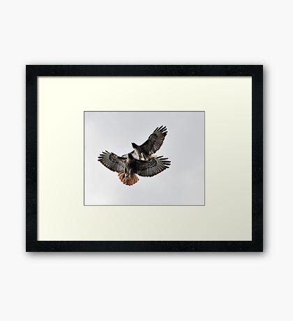 Playing Leap Hawk Framed Print