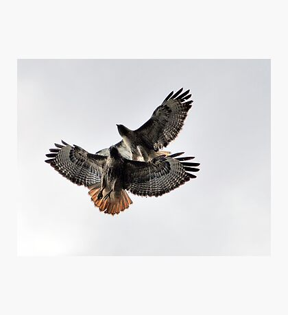 Playing Leap Hawk Photographic Print