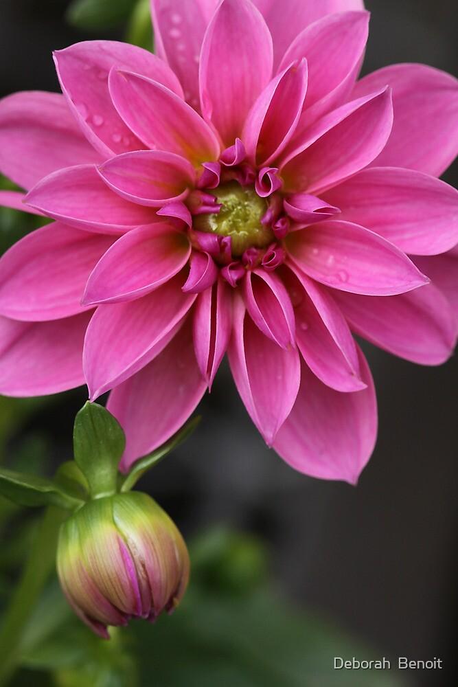 Dahlia With Dew In Pink by Deborah  Benoit