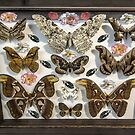 Butterfly collection by ivanoel