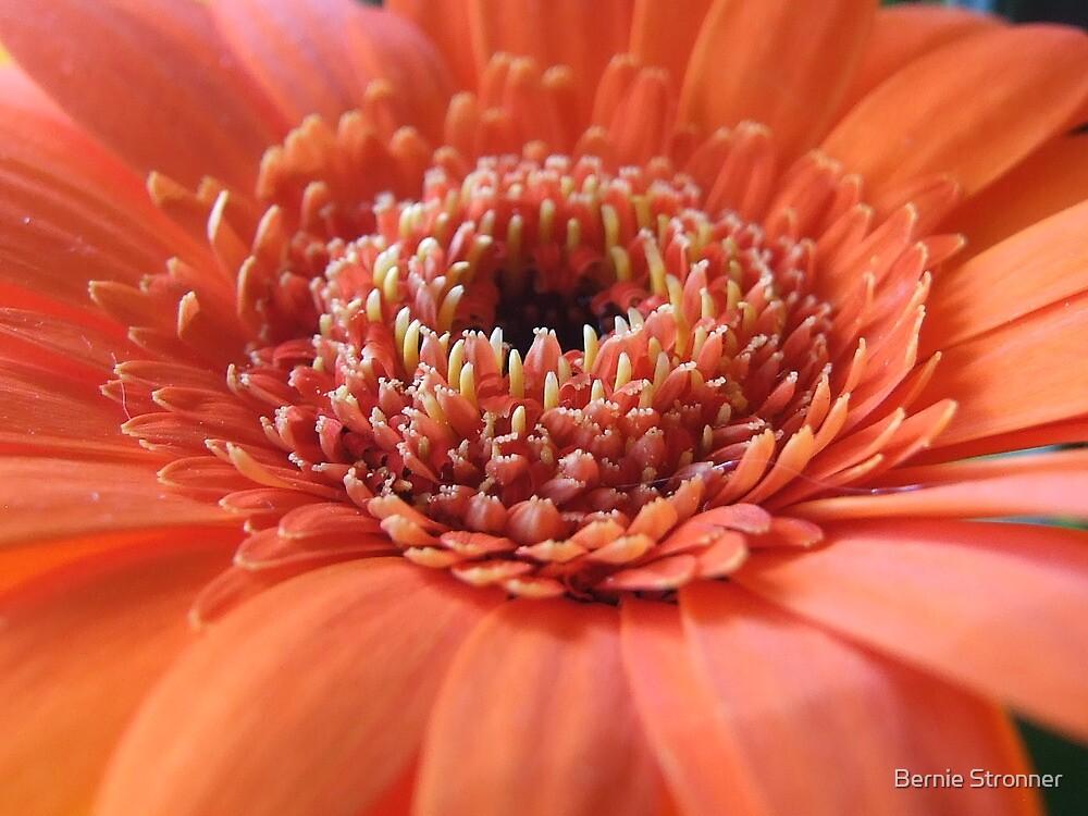 Orange Beauty (Super Macro) by Bernie Stronner