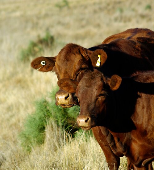 RED ANGUS LADIES by Helen Akerstrom Photography