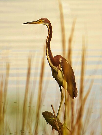 Tri Colored Heron by Bob Sample
