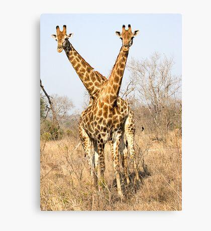 Rare Two Headed Giraffe Canvas Print