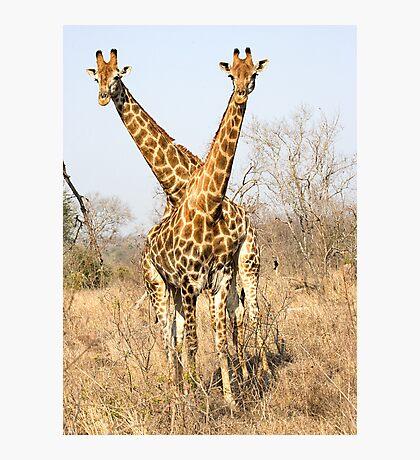 Rare Two Headed Giraffe Photographic Print